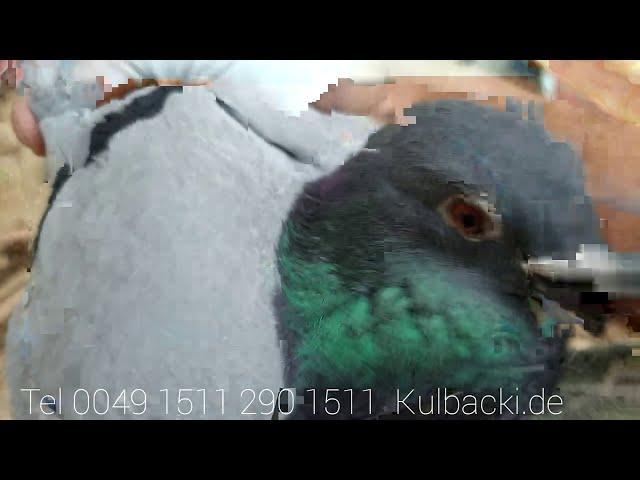 Starsze młode z stycznia na sprzedaż gotowe do rozpłodu, older young pigeons for sale część 1 part 1