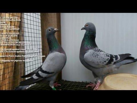 Racing pigeons Kulbacki Company next shipping Germany and Poland every week pigeons export worldwide