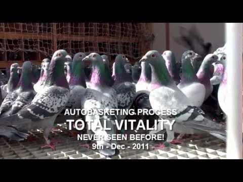 Arona-TENERIFE Pigeon Race 2012 - TRAINING-02