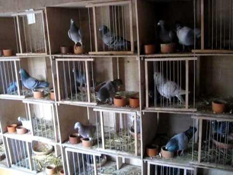 kweek duiven sehlaoui race van loon en anderen rassen  ook te koop jongen duiven 2010