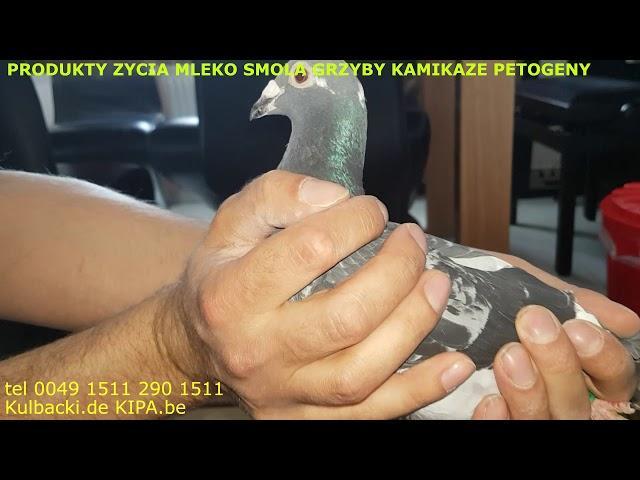 gołębie RASY KULBACKI najlepsze na świecie 1 godzina wyprzedzenia 800km 12/11 ptaki z innej planety