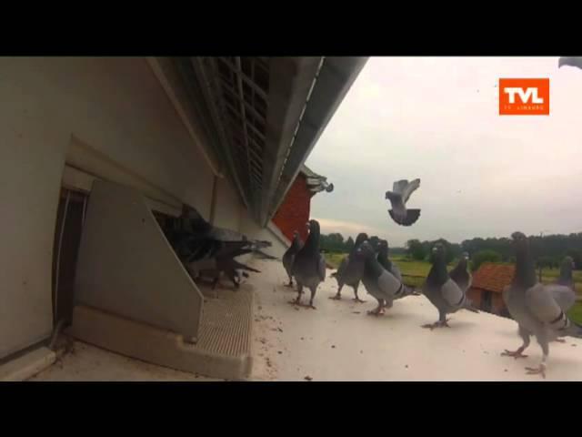 Duiventil: het TVL-duiventeam