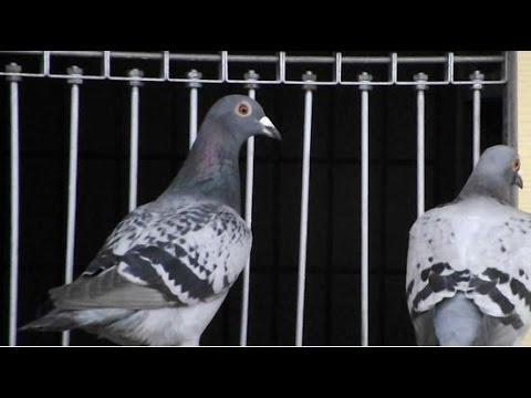 Miami Pigeon Racing at Atlantis Loft - Birds Return To Loft