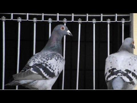 Miami Pigeon Racing at Atlantis Loft - Birds Return To Loft