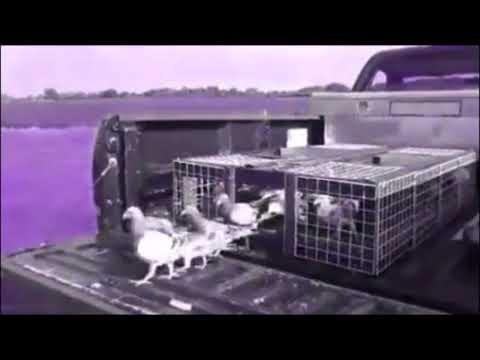 Slow Motion Racing Pigeon Liberation - Training Toss