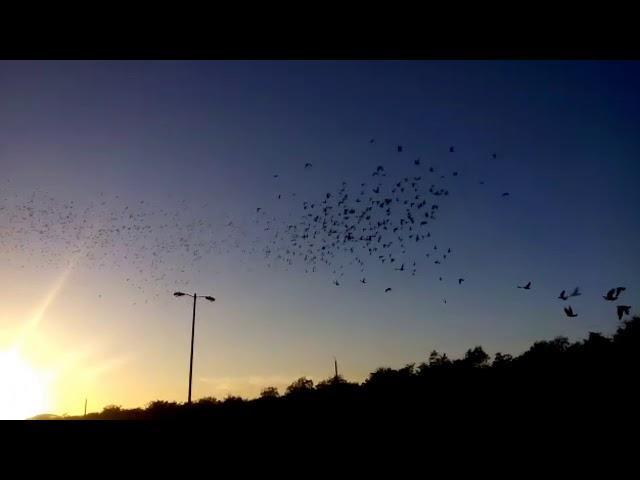 Cuban pigeons racing 395 kilometres camaguey,Cuba