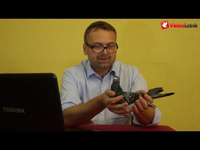 Gołębie Prange - prezentacja gołębi na aukcje Europapigeons Juwels
