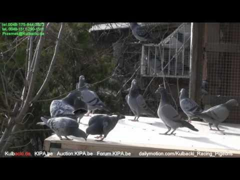 WhatsApp 0049-1511-290-1511 CHAMPION KULBACKI BREEDING PRESENTS young pigeons outside 2015 part 2