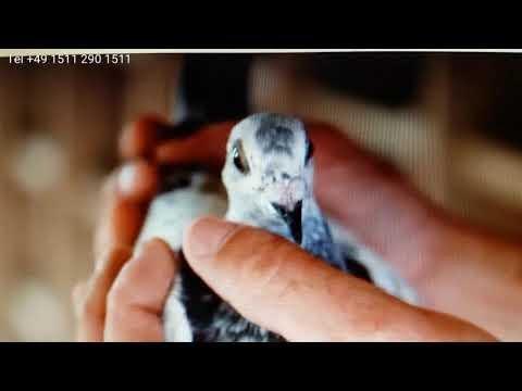 ©jeden gołąb od Kulbackich jest lepszy niz 60 od waszych oszustów one pigeon from Kulbacki win all..