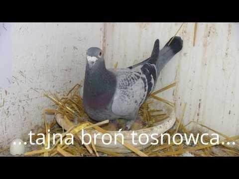 Porady dla młodych hodowców gołębi...