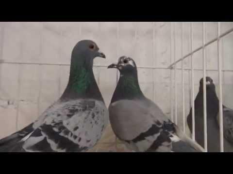 Wyżymacze , gołębie długodystansowe z charakterem !