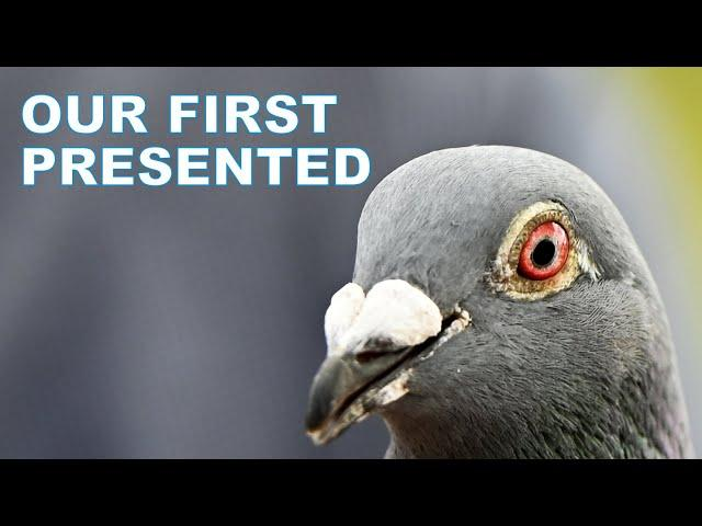 Vlog #99 THE SECOND Against 2706 pigeons #HansAndEvertJanEijerkamp