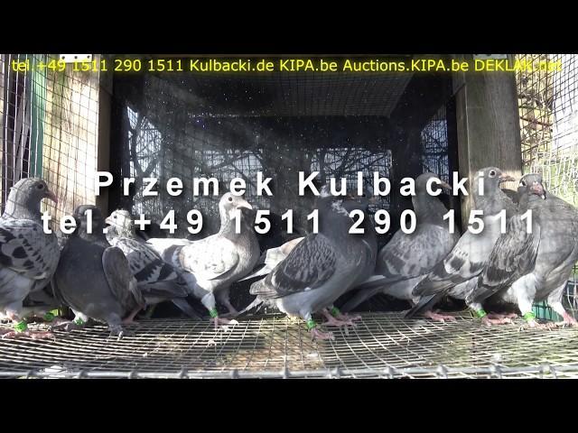 young pigeons for sale na sprzedaz młode gołębie junge Tauben zum verkauf tel +49 1511 290 1511