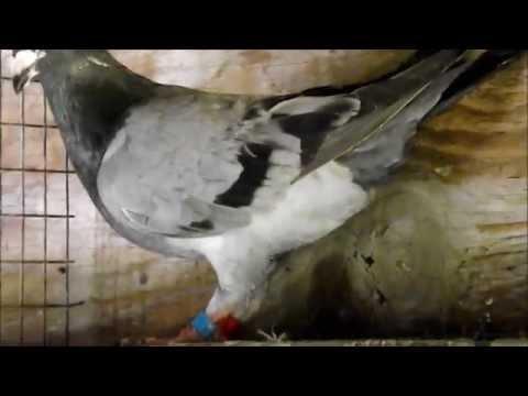 Respected Pigeon Fancier Retires - Charlie Psaro FLORIDA