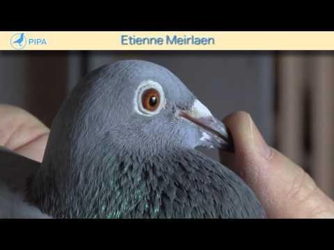 PIPA - Etienne Meirlaen Auction - De Perpignan Lady