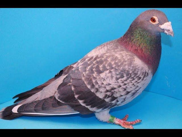 Szybkie gołębie na loty pod wiatr - Wyżymacze tel. 728 465 939
