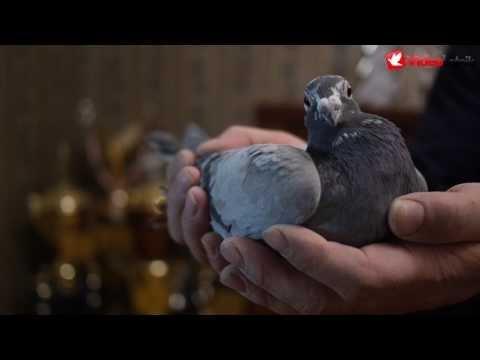 Fabry i inne - aukcja gołębi pocztowych