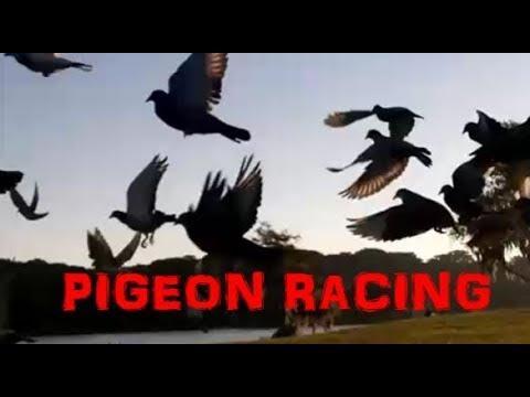TOP 10 - PIGEON RACING LIES + MYTHS