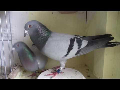 Gołębie wdowce w środę Tel. 728 465 939