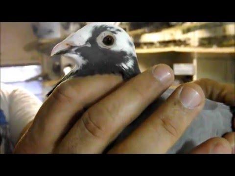 Darwin Loft 2015 Champion Loft Naples Pigeon Racing Club