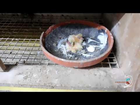 Breeding proces racing pigeons
