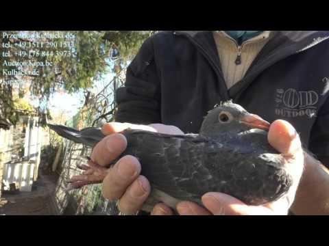 młode gołębie na sprzedaż po najstarszych rozpłodowcach young pigeons for sale from olderst birds