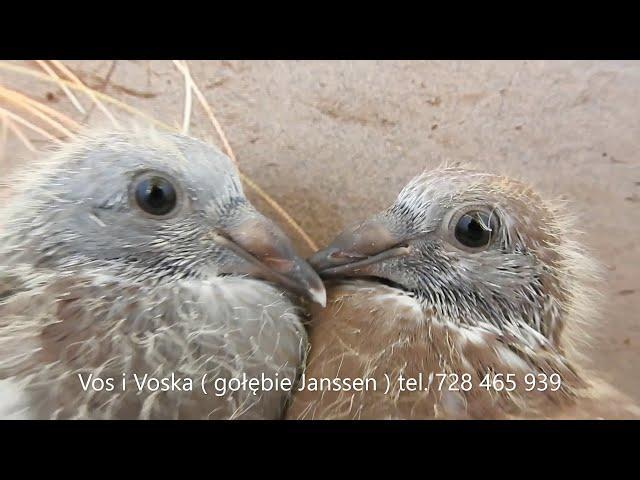 Słoneczny Gołębnik wychów  szybkich gołębi na sprzedaż  tel. 728 465 939
