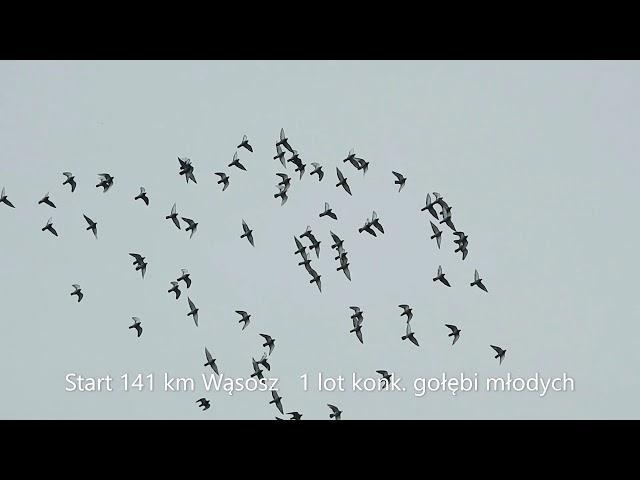 1 lot konk. gołębi młodych 25 06 2020