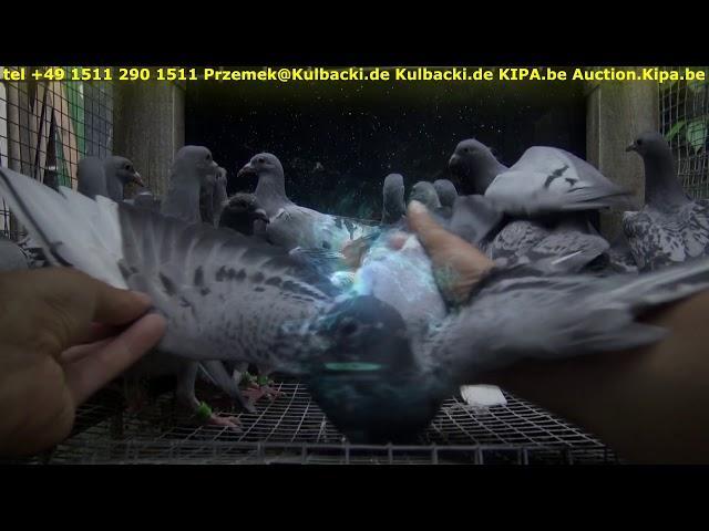 07-06-2018 aktualne gołębie na sprzedaz, gołębie z maja są najlepsze na loty tel 0049 1511 290 1511
