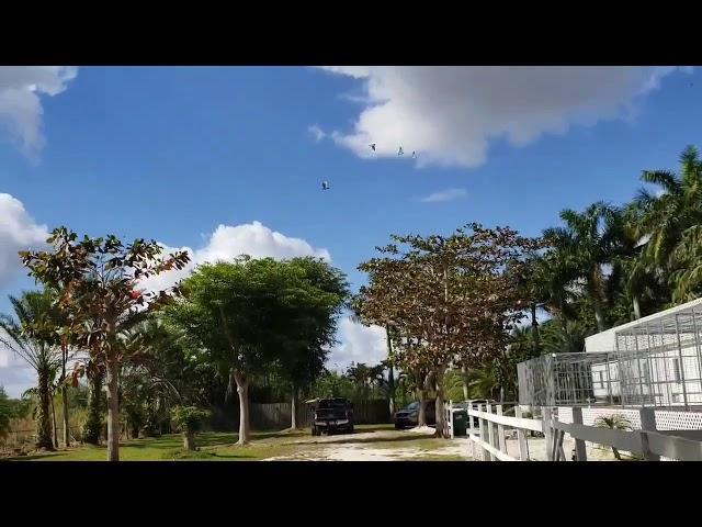 Miami PIGEONS Dervi 180 millas