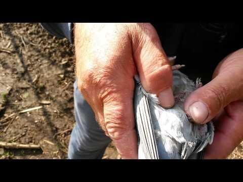 Samica po dwuch dniach ataku jastrzebia falcon