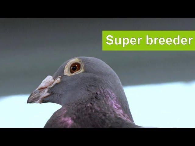 Presentation super breeder racing pigeon Barend J
