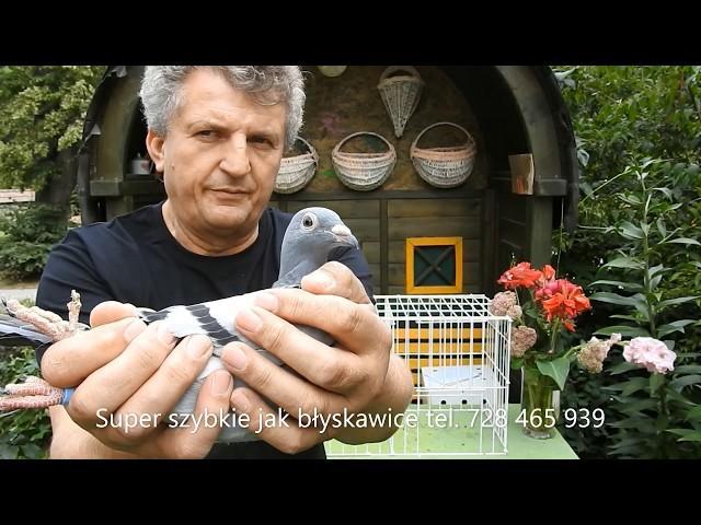 Gołębie w Bieszczady , szybkie jak błyskawice t. 728 465 939