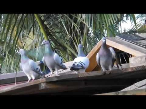 Pigeon Racing Young Bird Training for 2016 Race Season