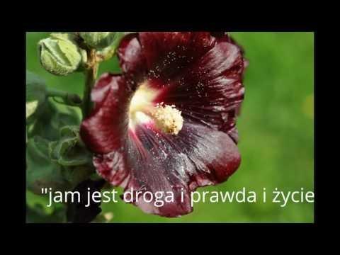 Opowieść , uczciwy hodowca gołębi - Rysiu Zajączkowski .