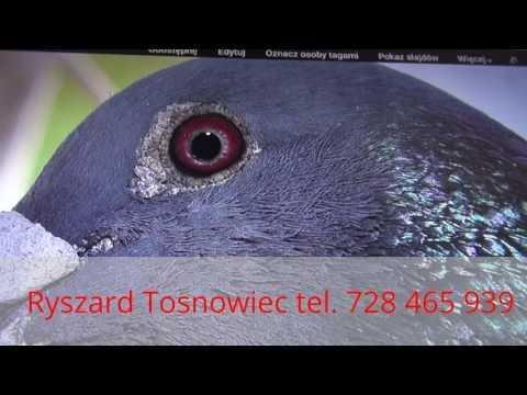 Zamawiam szybkie gołębie u Ryszarda tel. 728 465 939