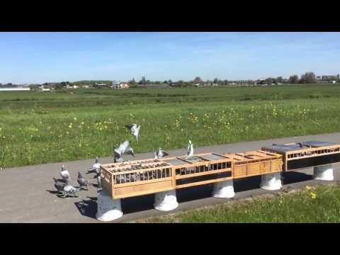 Lossing jonge duiven 2016 in Pijnacker (ZH) 5 mei 2016