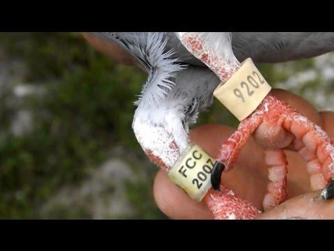 Lost Cuban Racing Pigeon Found In South Florida
