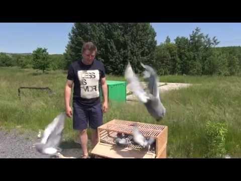 Lot treningowy młodych gołębi tel. 728 465 939