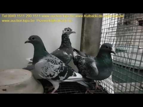 juz sprzedane are sold schon verkauft mehr Informationen über meine Tauben tel.0049 1511 290 1511