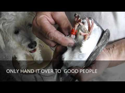 HOW TO: Helping A Lost Injured Pigeon