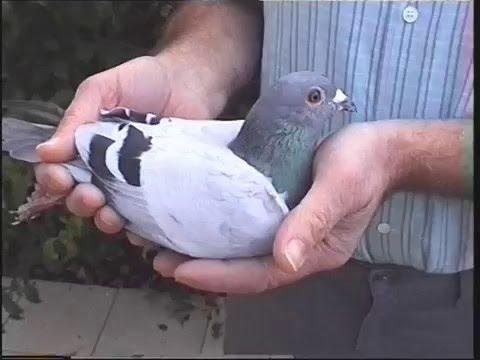 Video 3: L&SECC Guernsey Pigeon Races 2002
