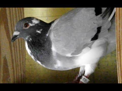 Pigeon Racing Toss - 87 Miles - Getting Ready For Young Bird Races