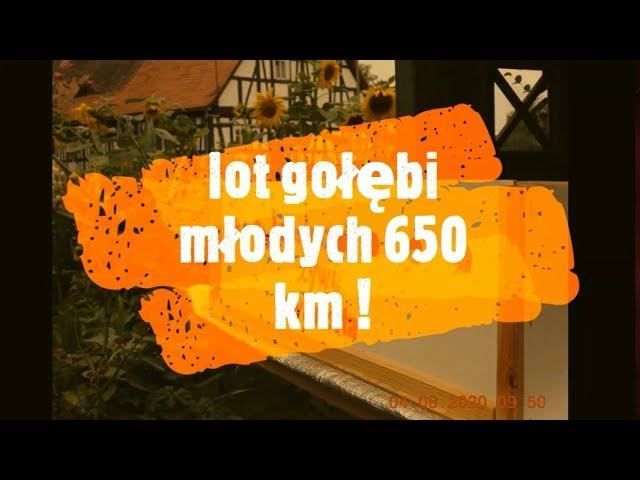 Lot z 650 km dla gołębi młodych -  transport na start 06 08 2020 Suwałki - Bogatynia