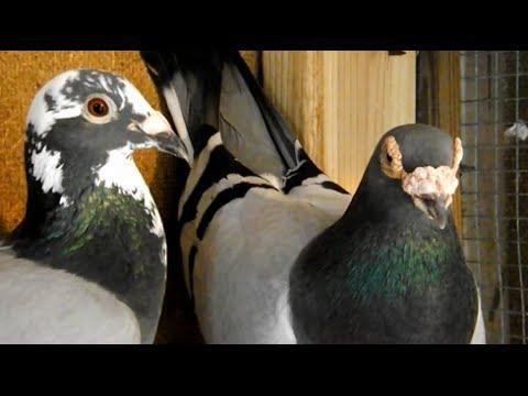 My Loft - My Pigeons - Loft Update - Hofkens - 700 bloodline