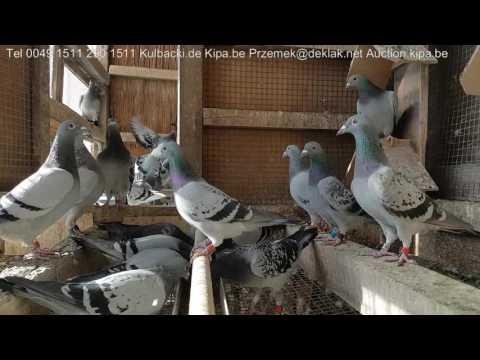 79 best pigeons in Club 23 Pigeons with full price 3.Regionalverbands Champion Germany KULBACKI