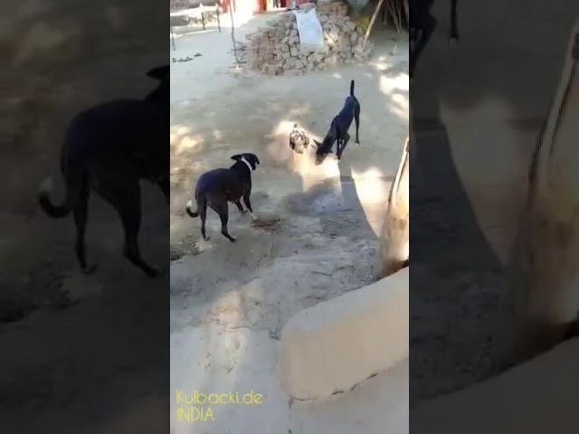 Bojowy kogut ( Youtube animals )