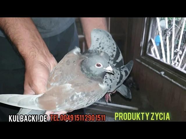 bardzo ważne informacje szczepienie gołębi,ptaków doświadczenia hodowlane Przemek Kulbacki