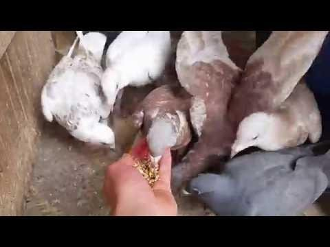 Farbige Brieftauben vor der Fütterung | Brieftauben zähmen