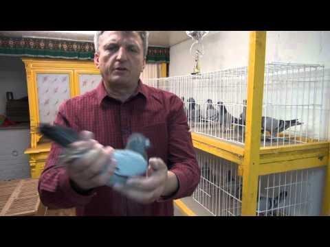 Gołębie : samiczki Flora Vervoorta tel. 728 465 939